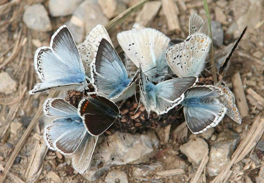 a group of blue butterflies on the ground