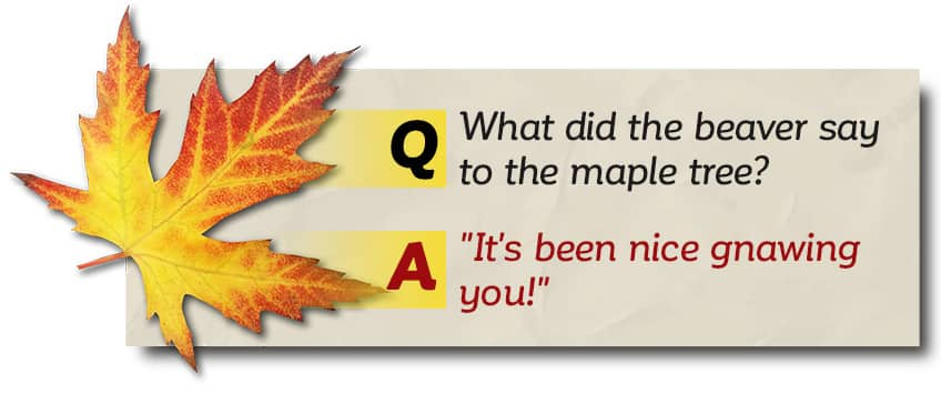 What did the beaver say to the maple tree? It's been nice gnawing you