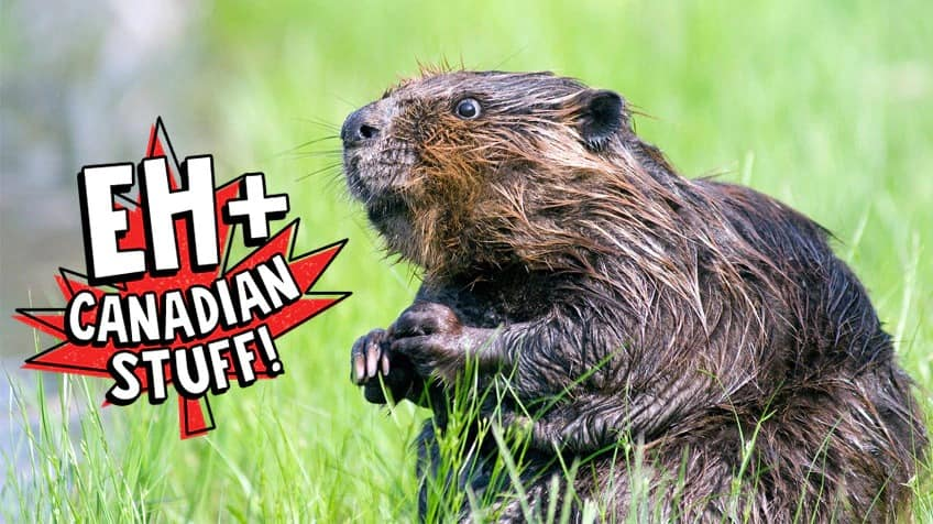 Beaver with a graphic overlay that reads EH+ Canadian Stuff