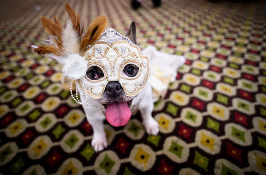 bulldog wearing a white mardis gras mask