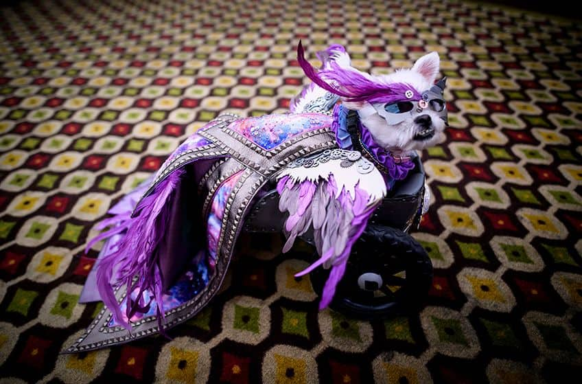 little Maltese wearing a purple costume