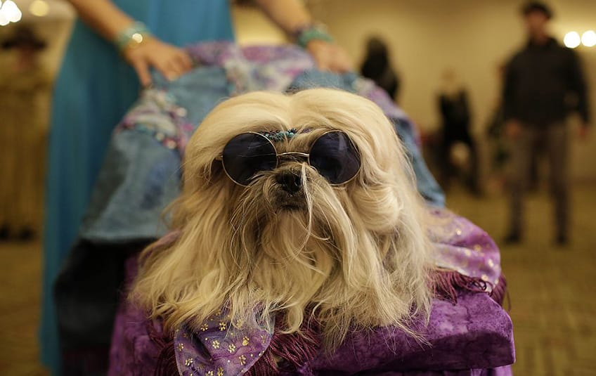 a little shaggy dog wears round sunglasses