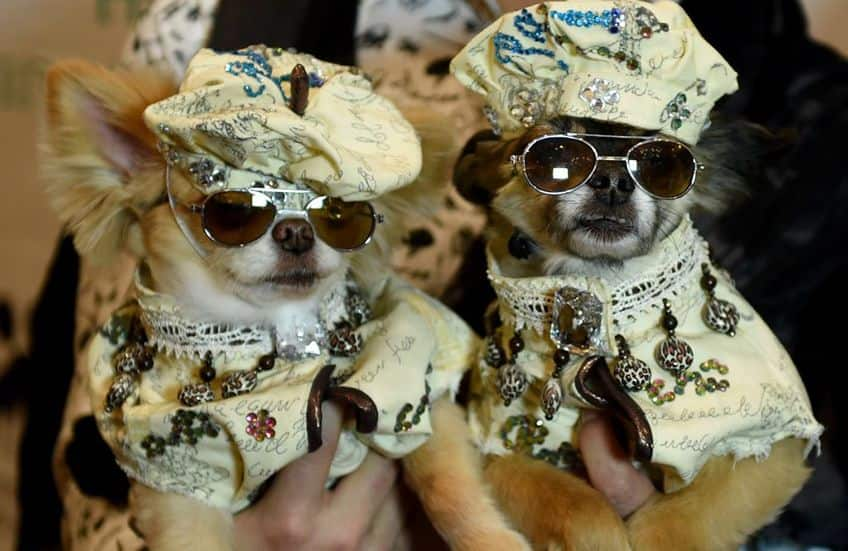 twin doggies all dress up in matching hats and jackets