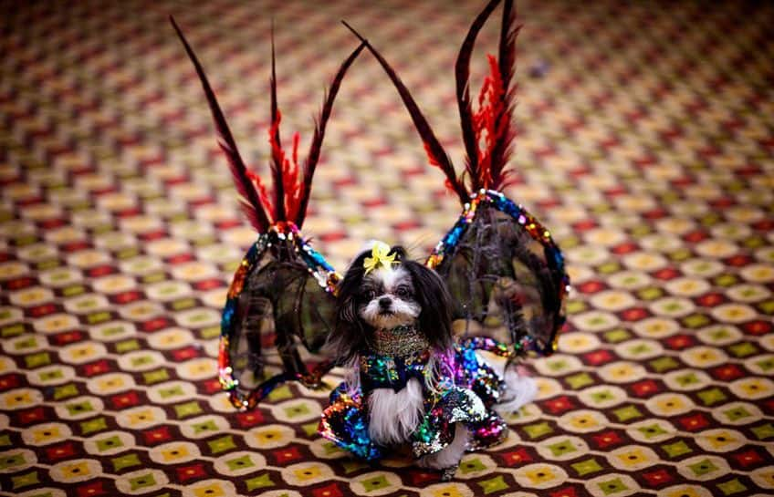 a little dog is all dressed up and has wings like a bat