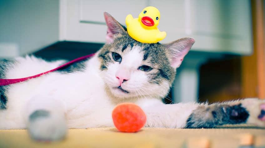 Rubber duckie on cat's head.