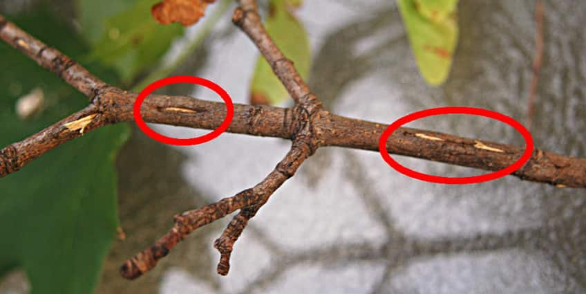 a tree branch shows where the eggs are laid, they are circled in red