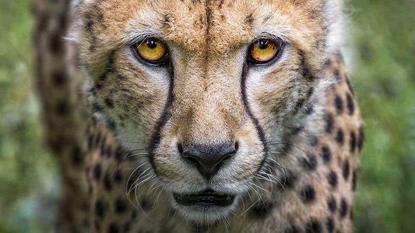 The Cheetah Fun Facts Kids