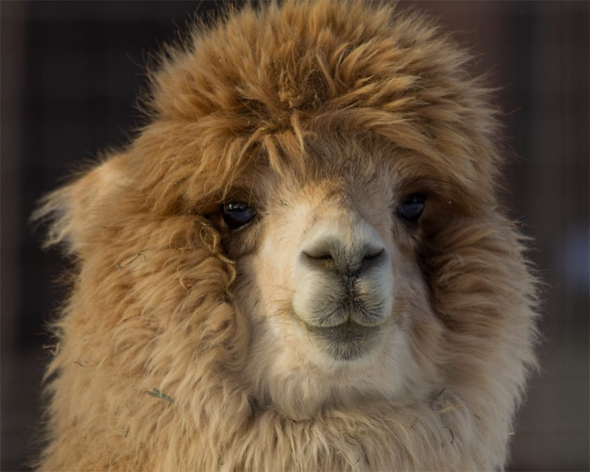 Fun Facts About Cute Animals – Alpaca Edition