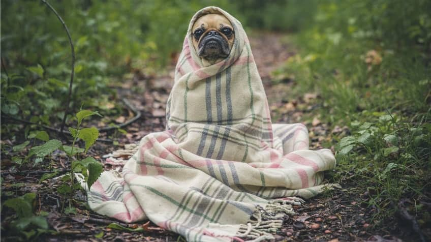 A pug wrapped in a blanket with his little face poking out