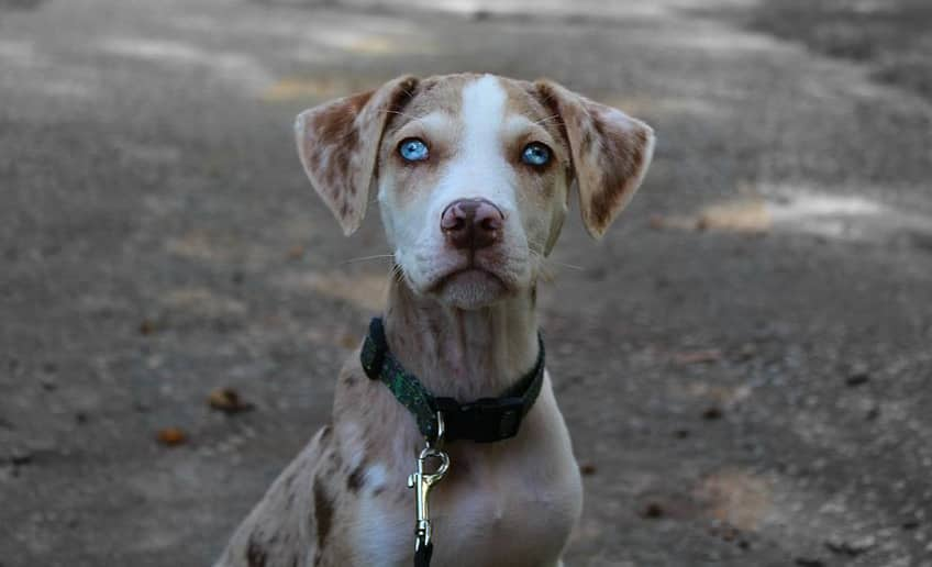 Closeup of a Catahoula Cur pup's face with eyes with two colours