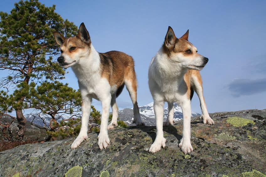 Two Lundehunds standing on a rock
