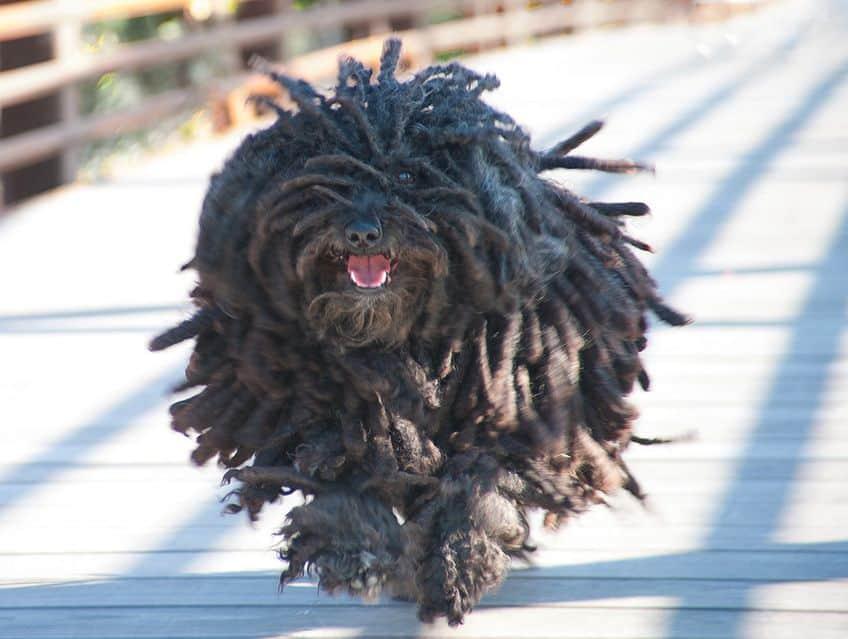 Puli dog running