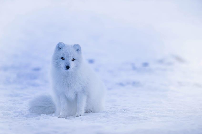 little arctic fox in the snow