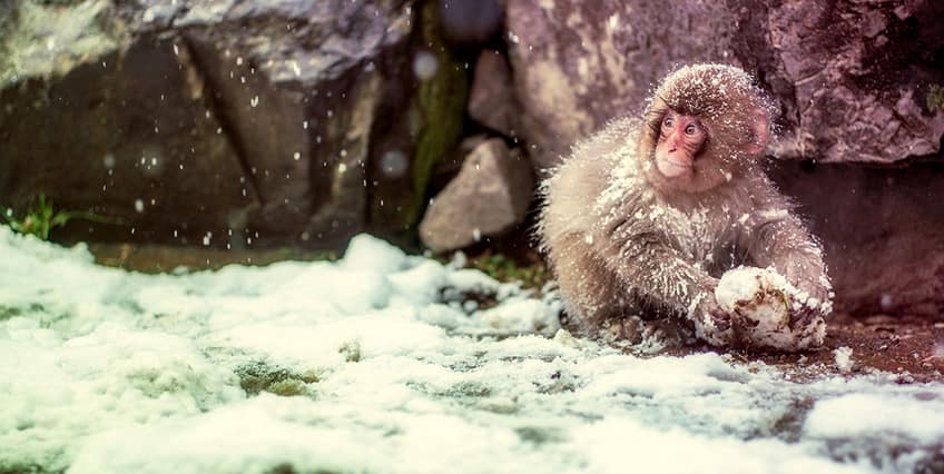 snow monkey surrounded by snow