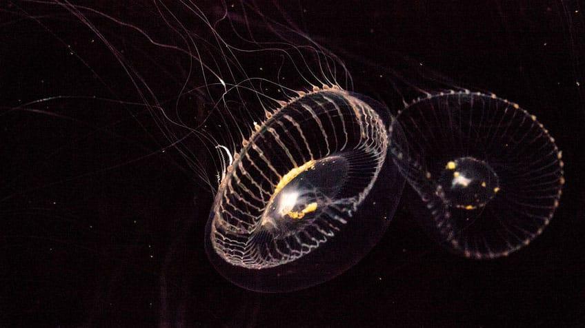 Crystal jellyfish.