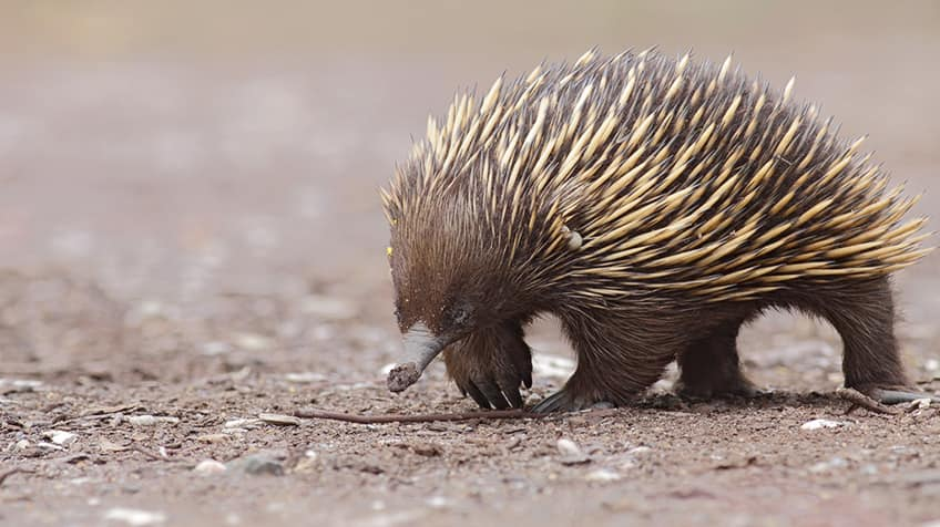the echidna is sometimes called a spiny anteater
