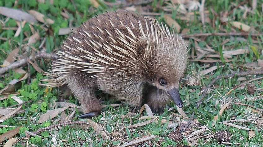 an echidna lays eggs just like the platypus
