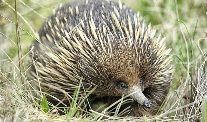 the spiny echidna is a warm-blooded animal