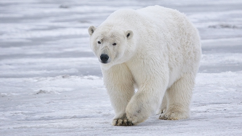 A polar bear walking along on the snow