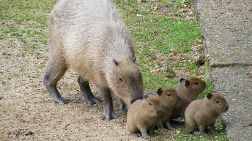 Capybara and babies