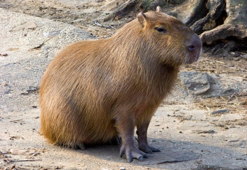 The capybara