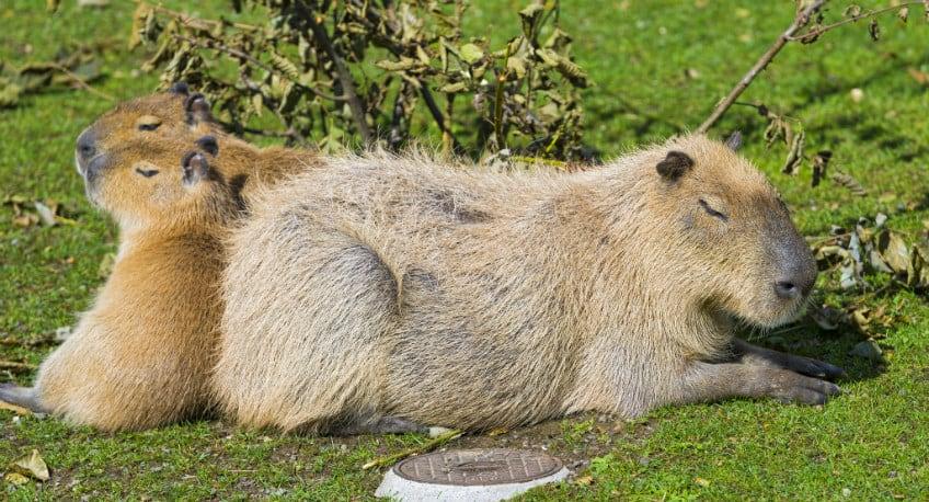 Capybara group