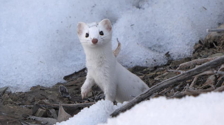 An ermine on the hunt in the winter snow