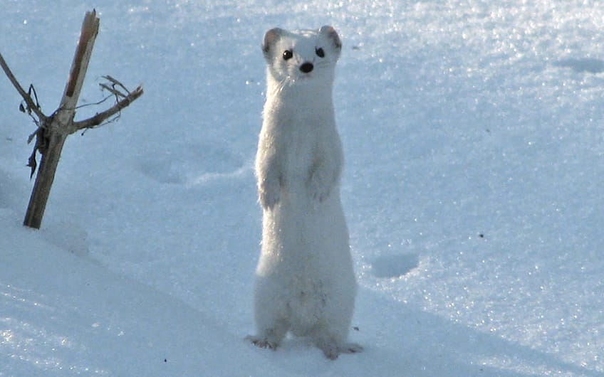 A white ermine standing up in the snow
