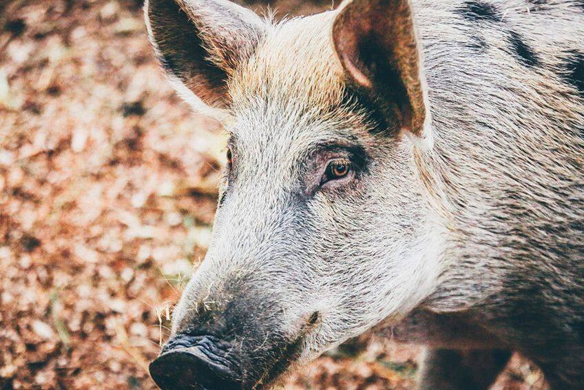 close up of a hog