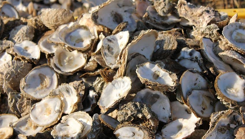 oyster shells on the beach