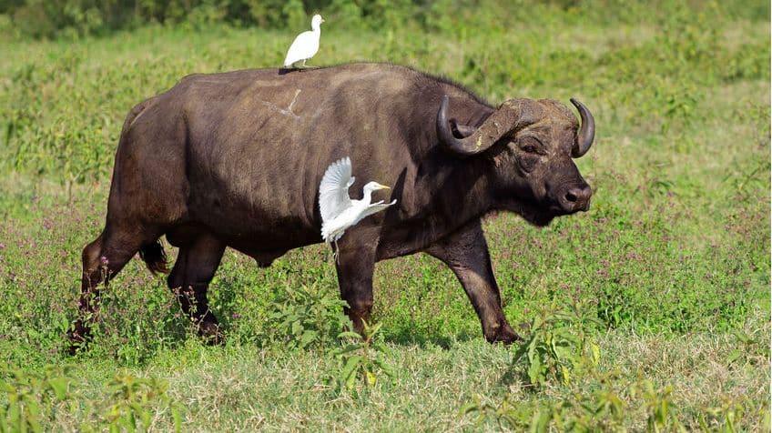 Egrets and buffalo