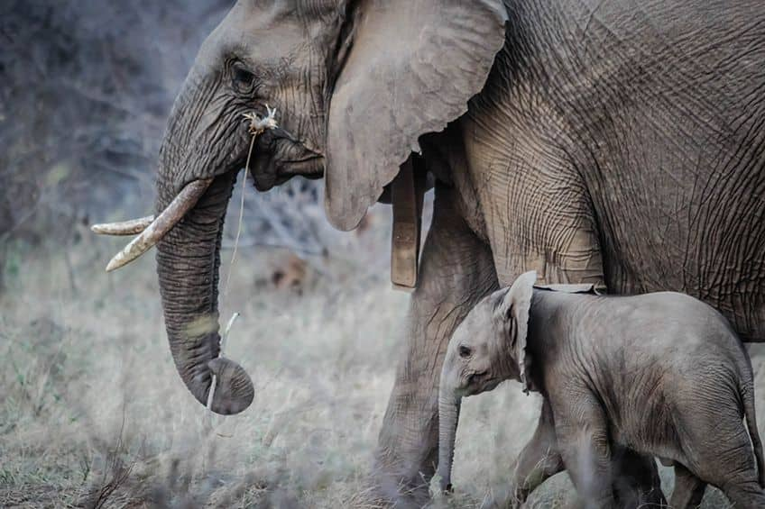 a mother and daughter grey elephant