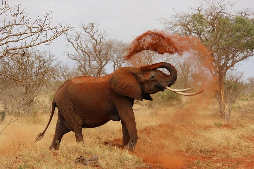 an elephant tossing dirt on itself