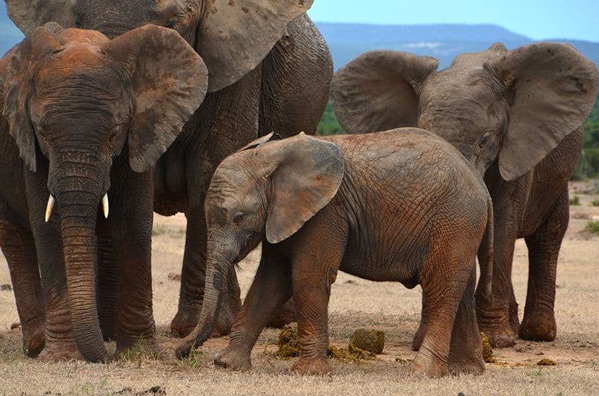 a family of large mud covered elephants