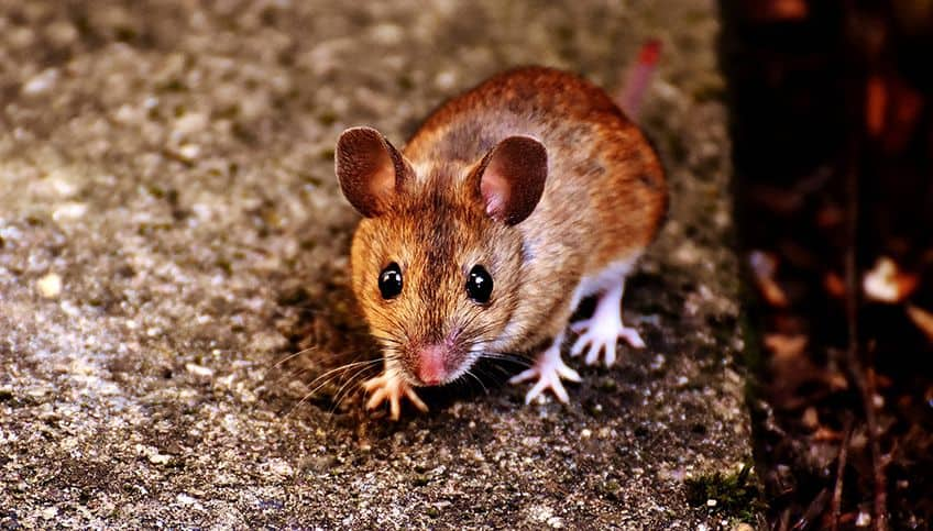 cute little brown mouse