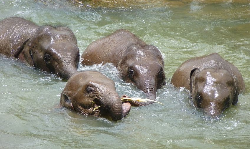 four elephants playing in the water