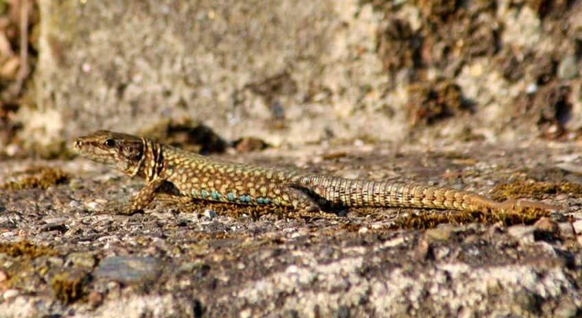 salamander blending into the rocks
