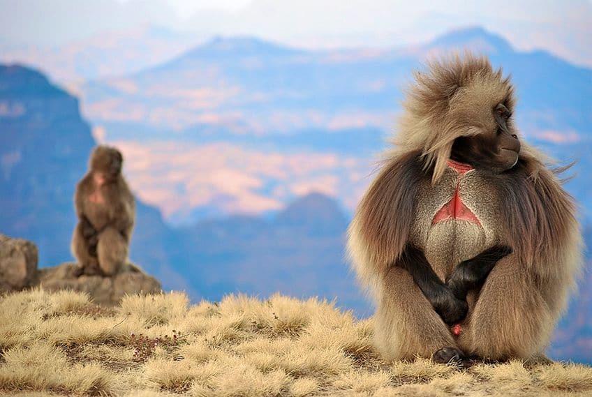 two furry monkeys sitting on a mountain