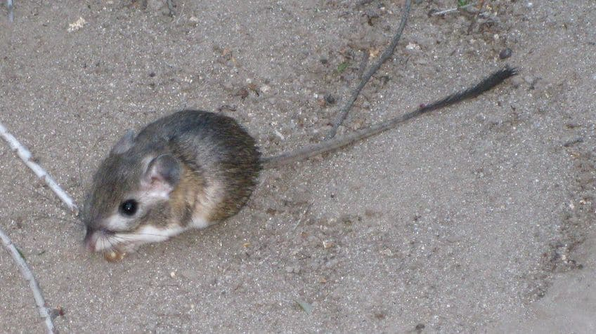mouse with a really long tail