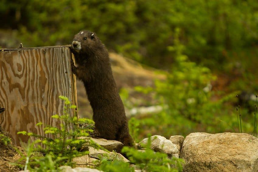 marmot at a tree stump