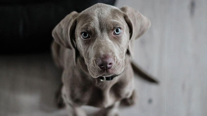A Weimaraner puppy about stares at the camera.