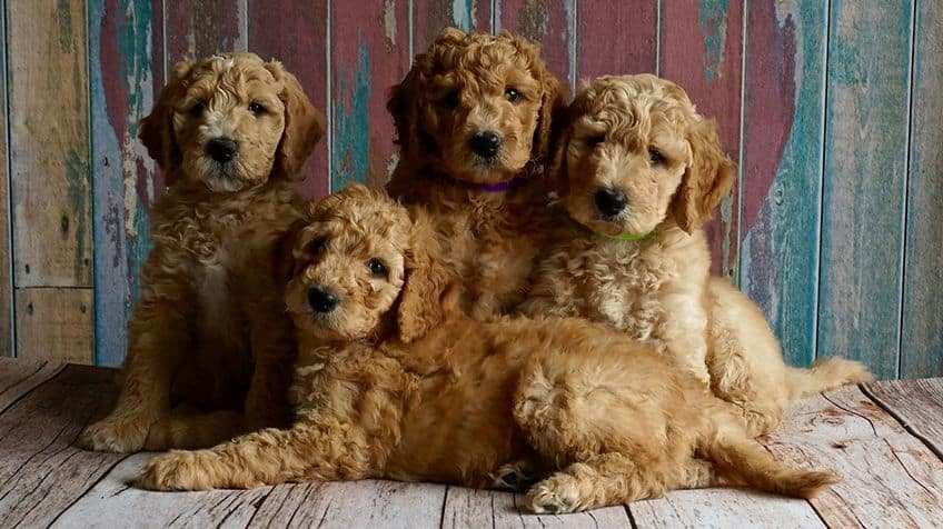 Four identical-looking cockerspaniel puppies.