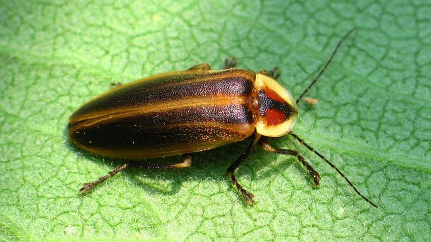 the Photuris firefly