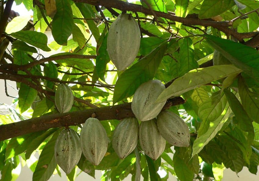 Giant cacao pods hanging off a tree branch
