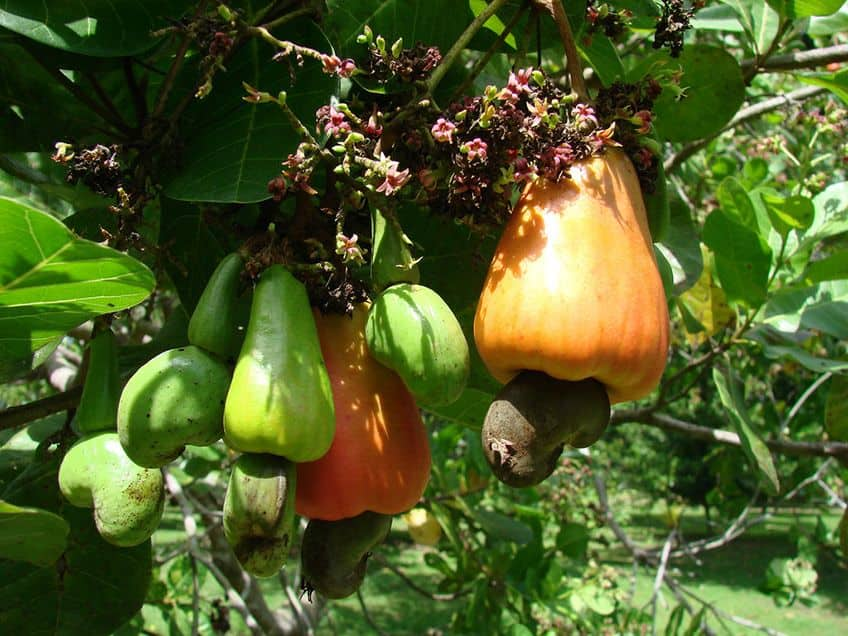 a cashew fruit and apple hanging off a cashew tree