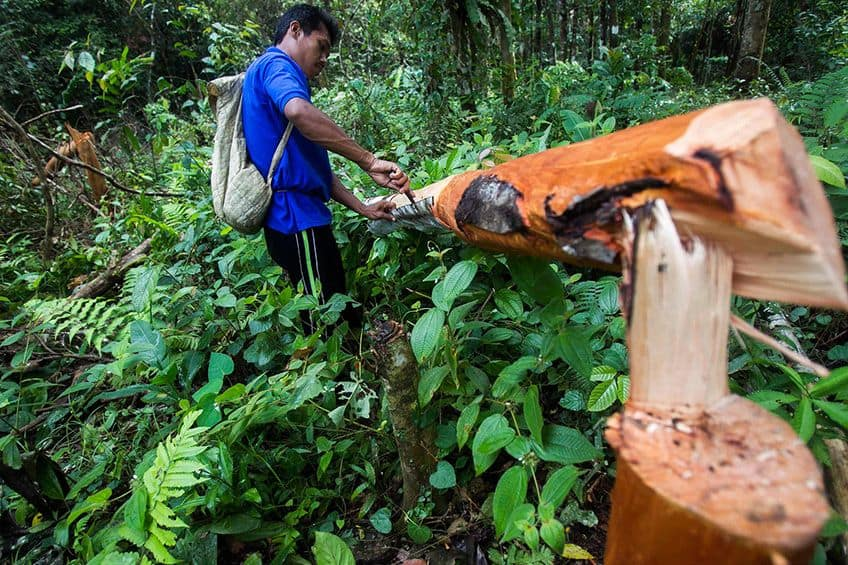 man harvesting the bark of the cinnamon tree in the forest
