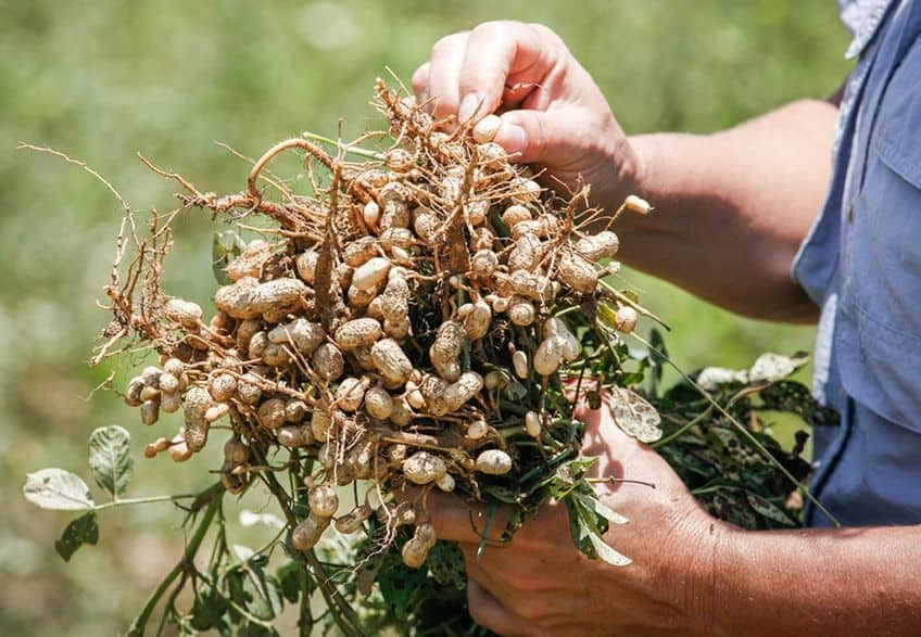 someone holding a peanut plant in their hands