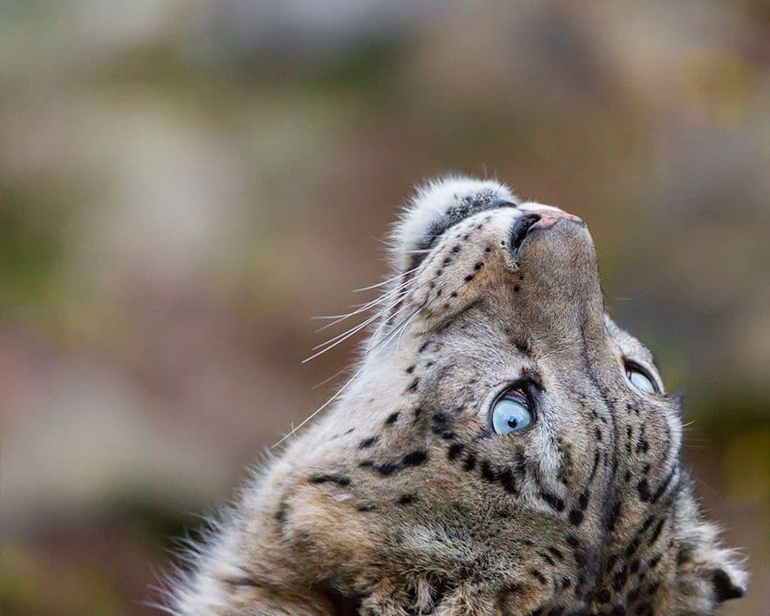 leopard gazing up at the sky