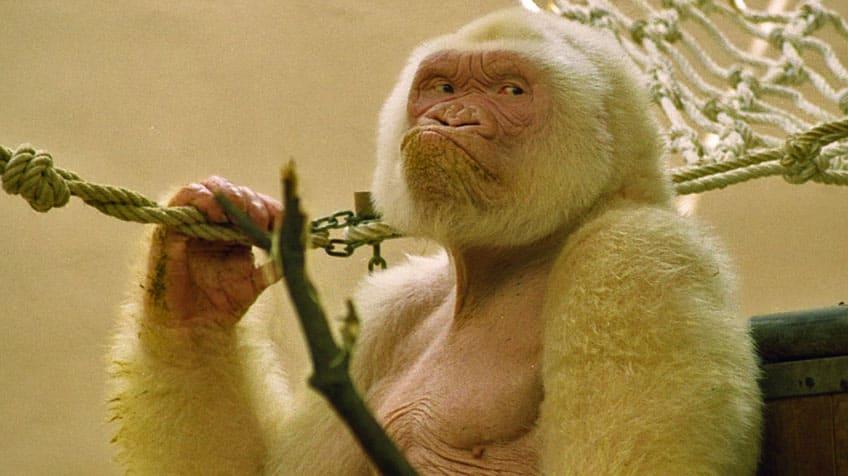 A picture of Snowflake, the albino gorilla sits