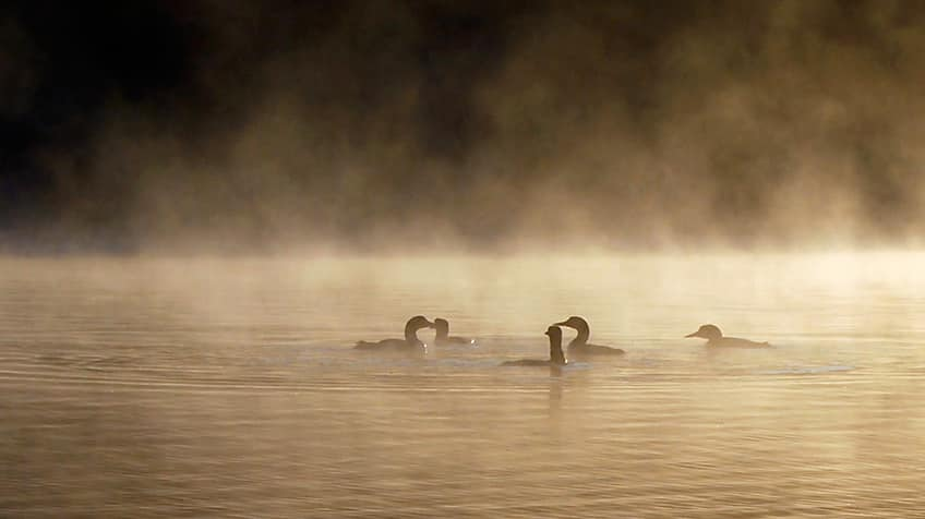 Loons on a lake